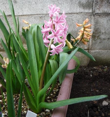 Hyacinthus-Pink4-2020.jpg
