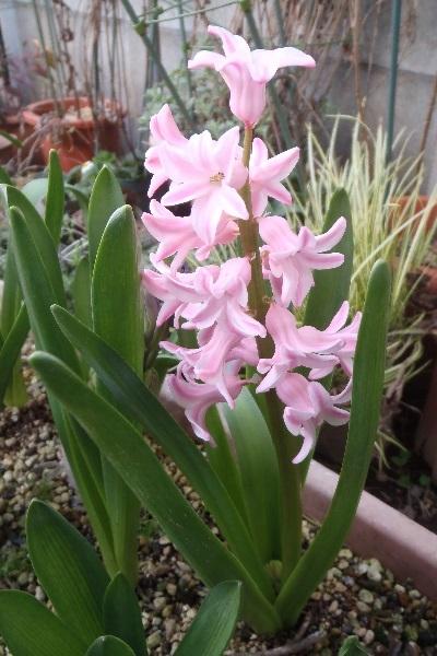 Hyacinthus-Pink4-2021.jpg