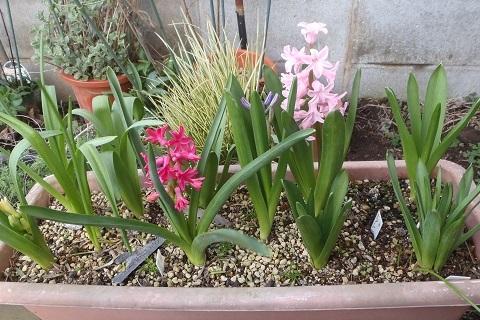 Hyacinthus-Pink5-2021.jpg