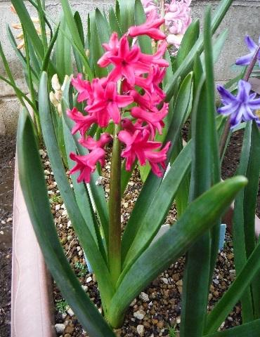 Hyacinthus-Red-Planter3-2020.jpg