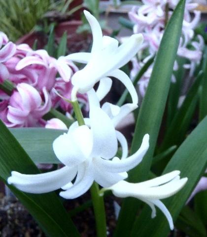 Hyacinthus-White2-2021.jpg