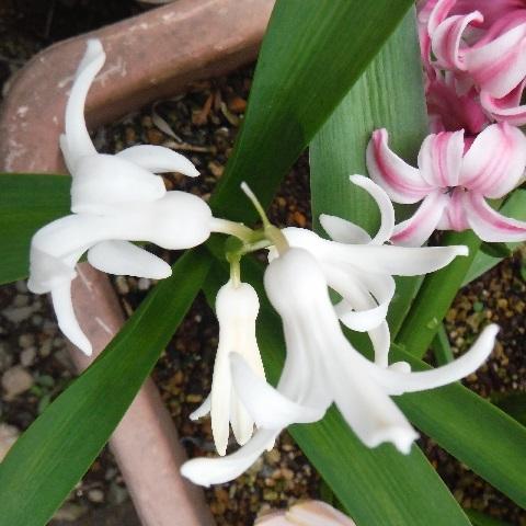Hyacinthus-White3-2021.jpg