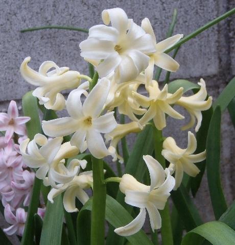 Hyacinthus-Yellow1-2020.jpg