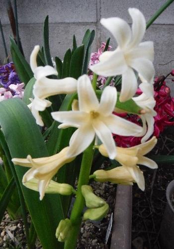 Hyacinthus-Yellow1-2021.jpg