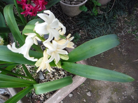 Hyacinthus-Yellow2-2021.jpg