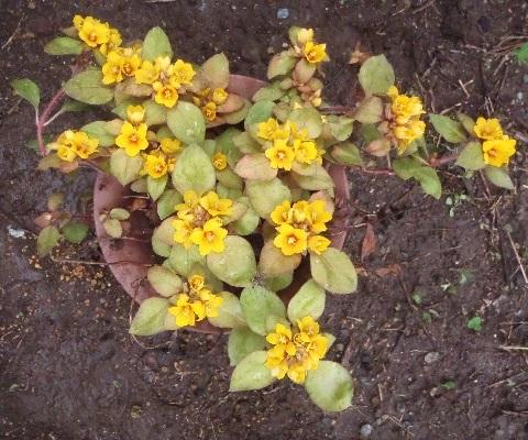 Lysimachia_congestiflora_Lyssii1-2021.jpg
