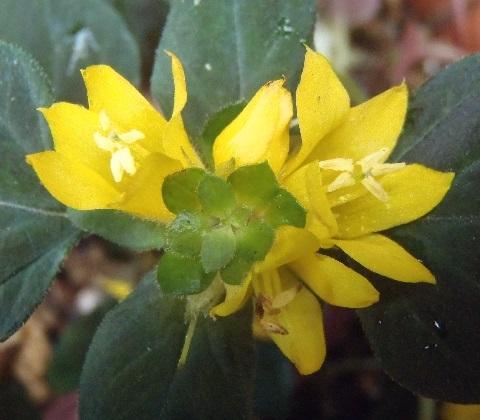 Lysimachia_congestiflora_MidnightSun1-2021.jpg