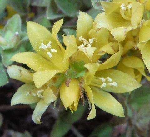 Lysimachia_congestiflora_MidnightSun4-2020.jpg