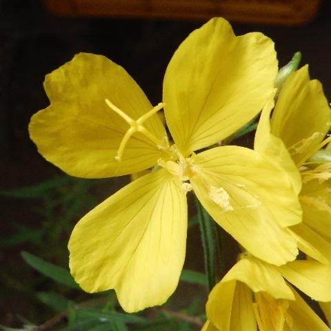 Oenothera_hybrids-Lemon_drops2-2020.jpg