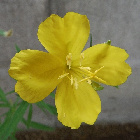 Oenothera_hybrids-Lemon_drops3-2020.jpg