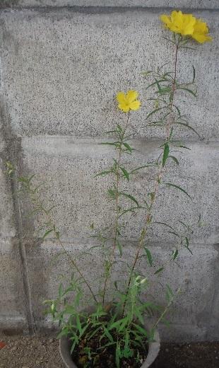 Oenothera_hybrids-Lemon_drops4-2020.jpg