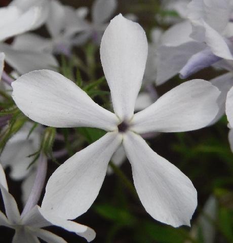 Phlox_divaricata_White_Perfume7-2020.jpg