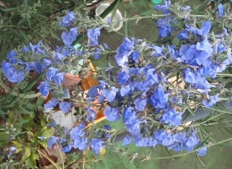 Salvia-Azurea1-2020.jpg