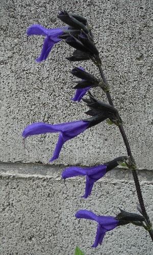 Salvia_guaranitica2-2020.jpg