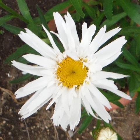 Shasta_daisy-Snow_Drift1-2020.jpg