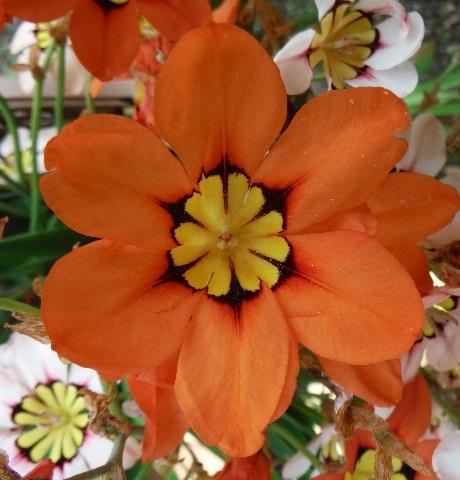 Sparaxis-orange1-2020.jpg