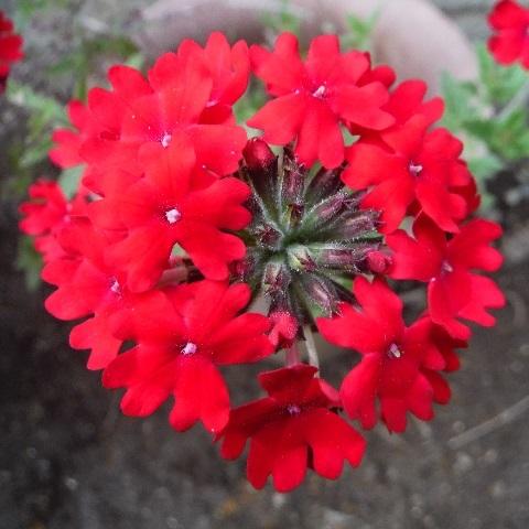 Superbena-red1-2020.jpg