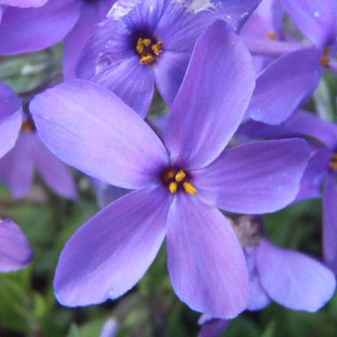 Tsuruhanashinobu-Sherwood-purple1-2020.jpg