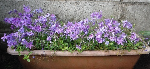 Tsuruhanashinobu-Sherwood-purple2-2020.jpg