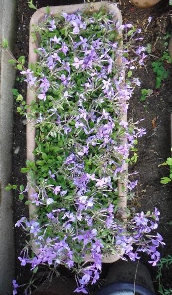 Tsuruhanashinobu-Sherwood-purple4-2020.jpg
