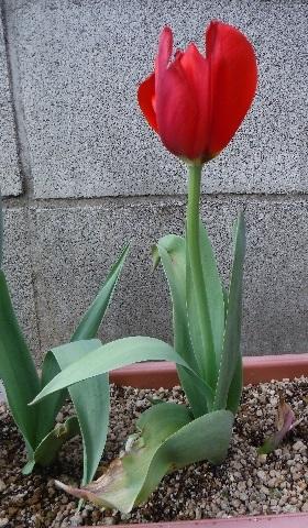 Tulip-aka2-2020.jpg