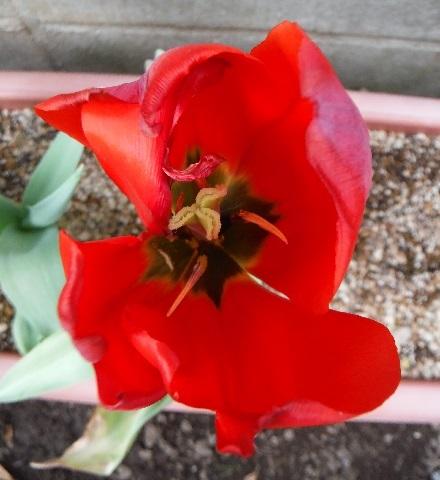 Tulip-aka3-2020.jpg