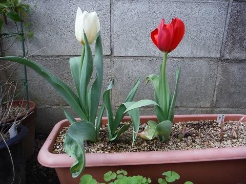 Tulip-mix-2020.jpg