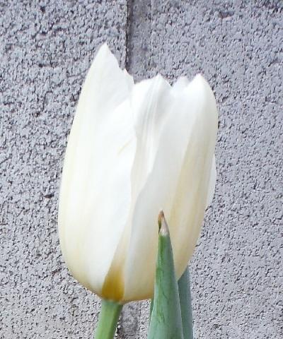 Tulip-shiro1-2020.jpg