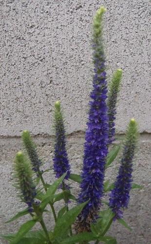 Veronica-spicata-Ulster_Blue_Dwarf1-2021.jpg