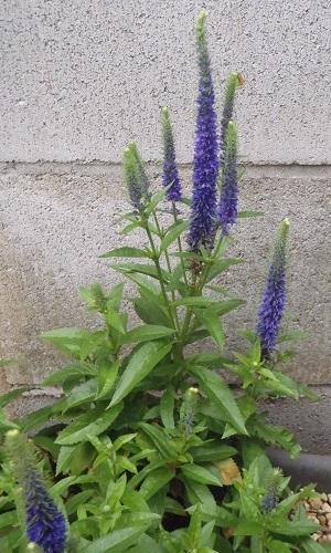 Veronica-spicata-Ulster_Blue_Dwarf2-2021.jpg