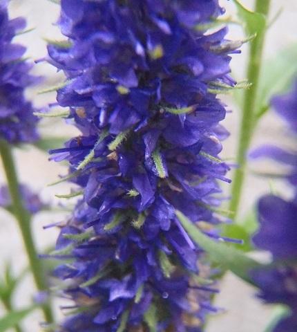 Veronica-spicata-Ulster_Blue_Dwarf3-2021.jpg