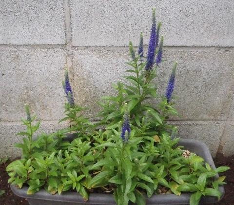 Veronica-spicata-Ulster_Blue_Dwarf4-2021.jpg