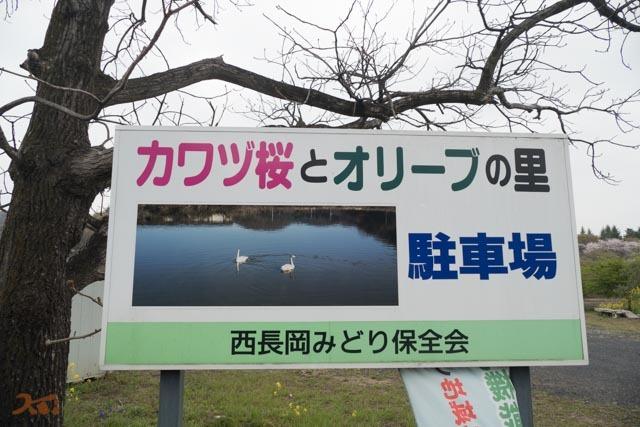 20210330桜_西長岡02