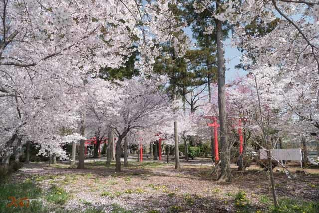 20210331桜_生品神社03