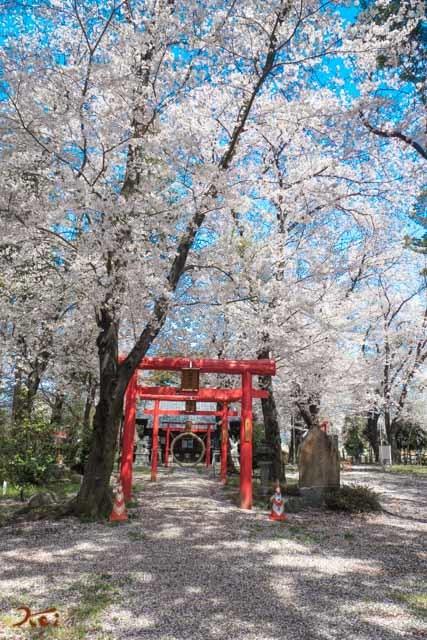 20210331桜_生品神社05