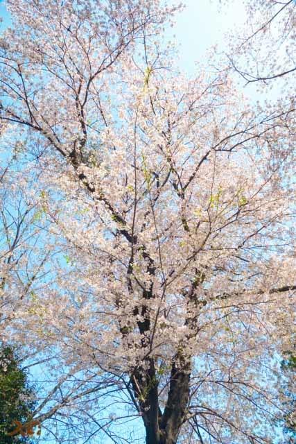 20210331桜_生品神社07