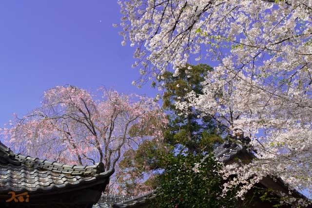 20210331桜_生品神社10