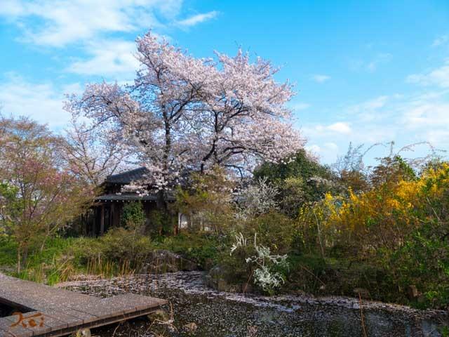20210403桜_常楽寺11