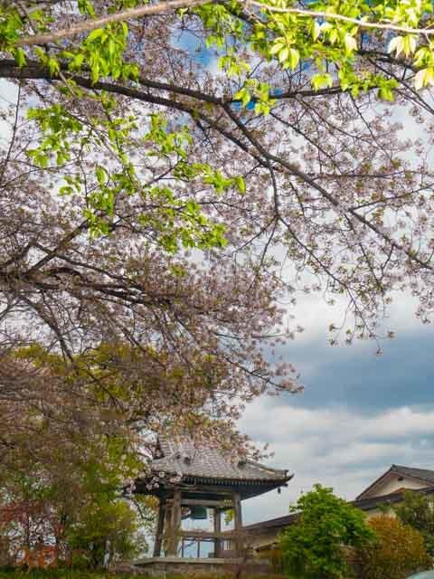 20210403桜_常楽寺02