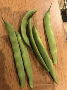 モロッコいんげん収穫