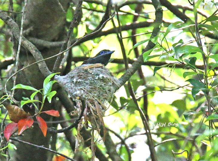 Jun サンコウチョウの巣作り 8