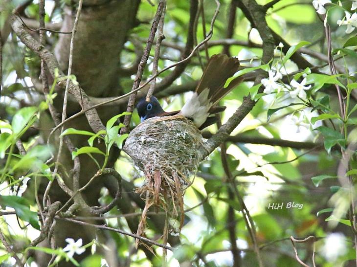 Jun サンコウチョウの巣作り 9