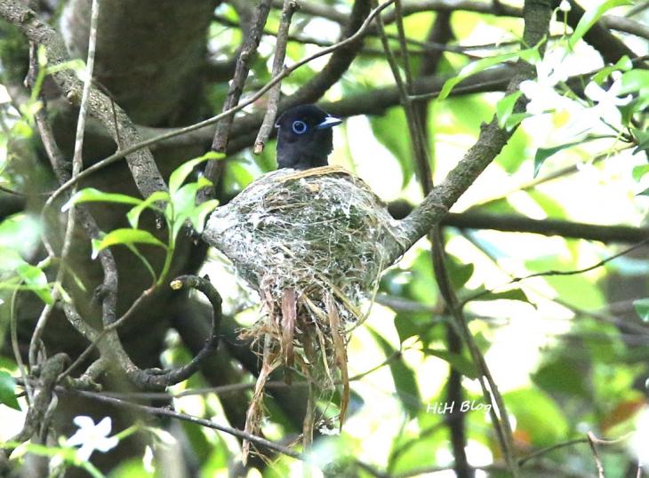Jun サンコウチョウの巣作り 10
