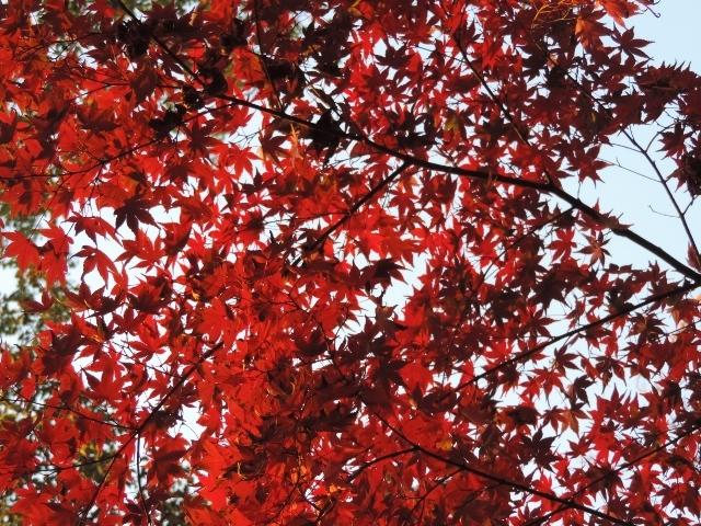DSCN9135紅葉 (640x480)