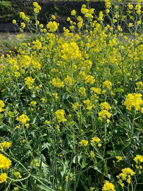 菜の花2021