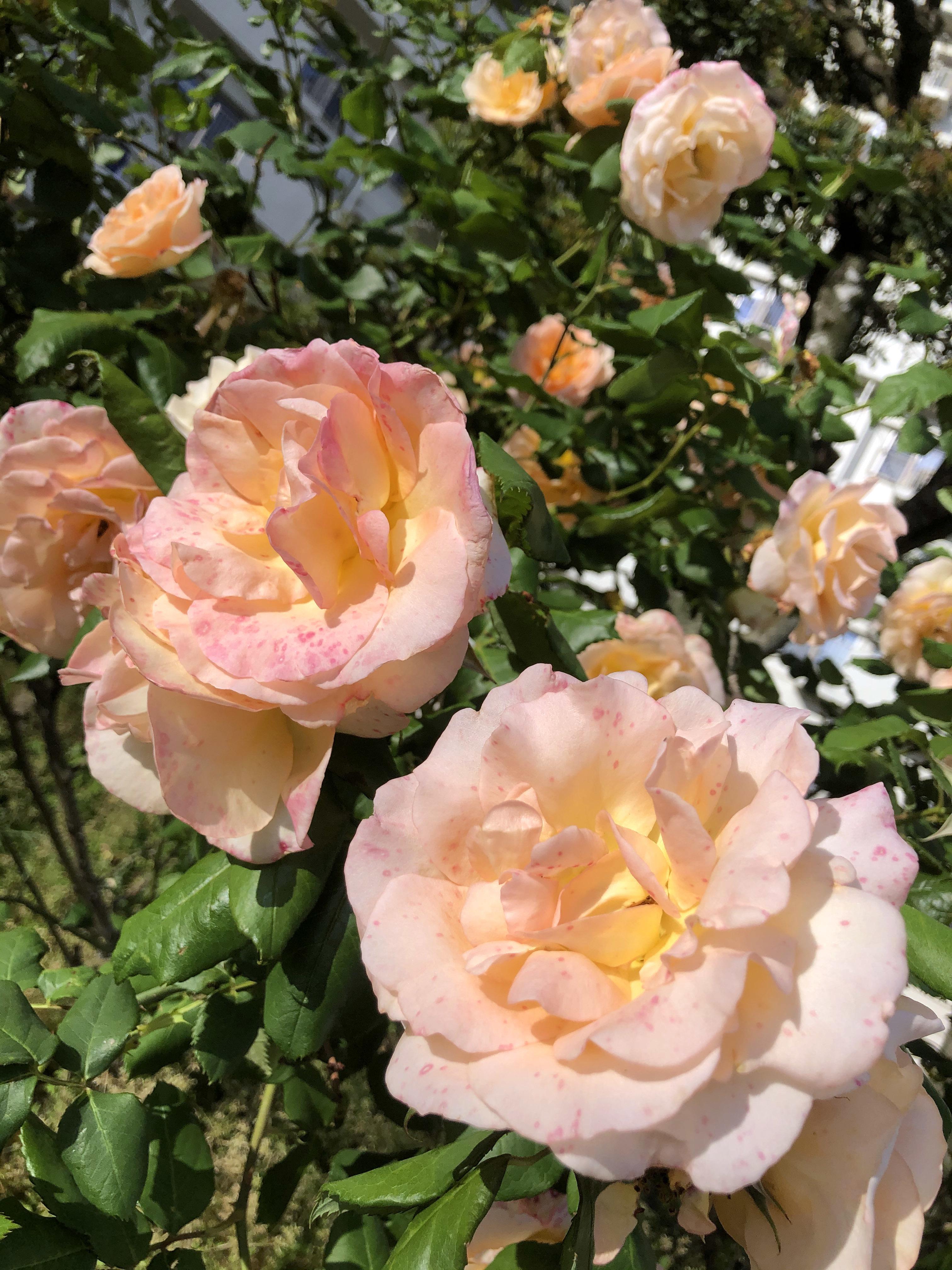 20_05ご近所の花01
