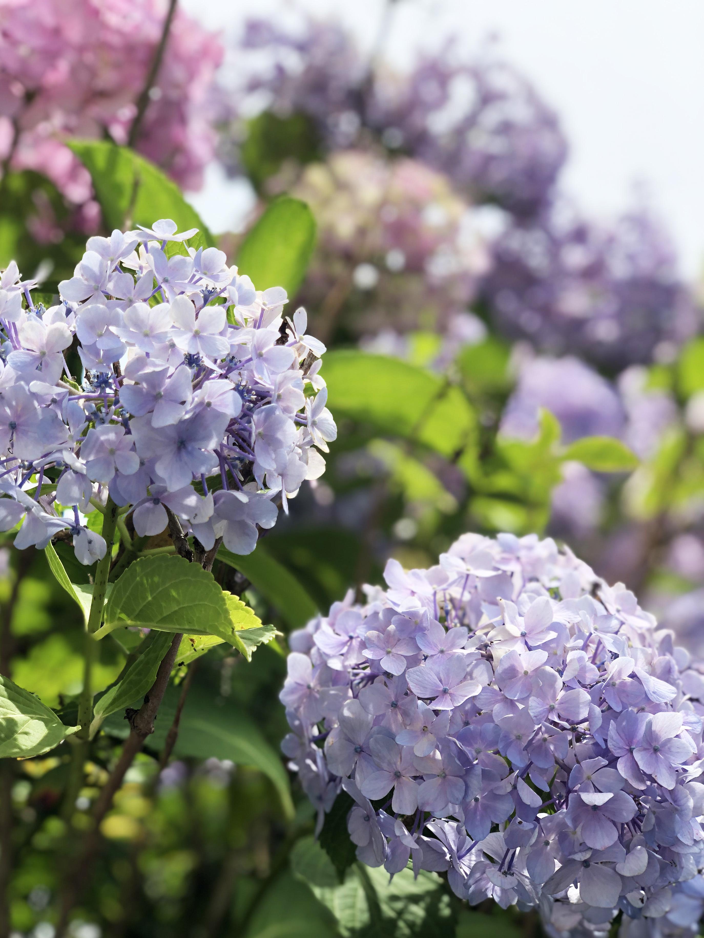 20_07紫陽花k01