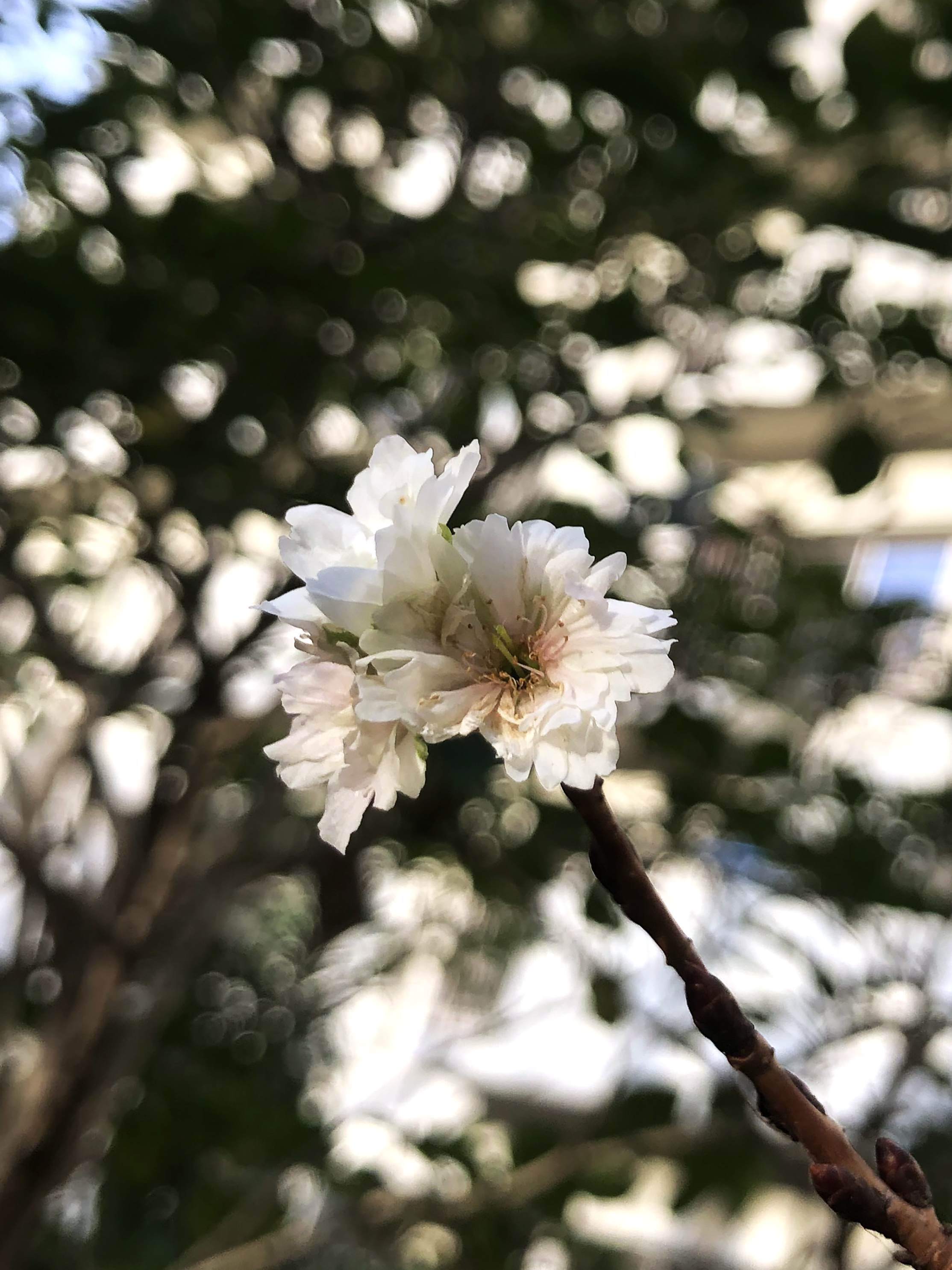 20_10秋咲きの桜01