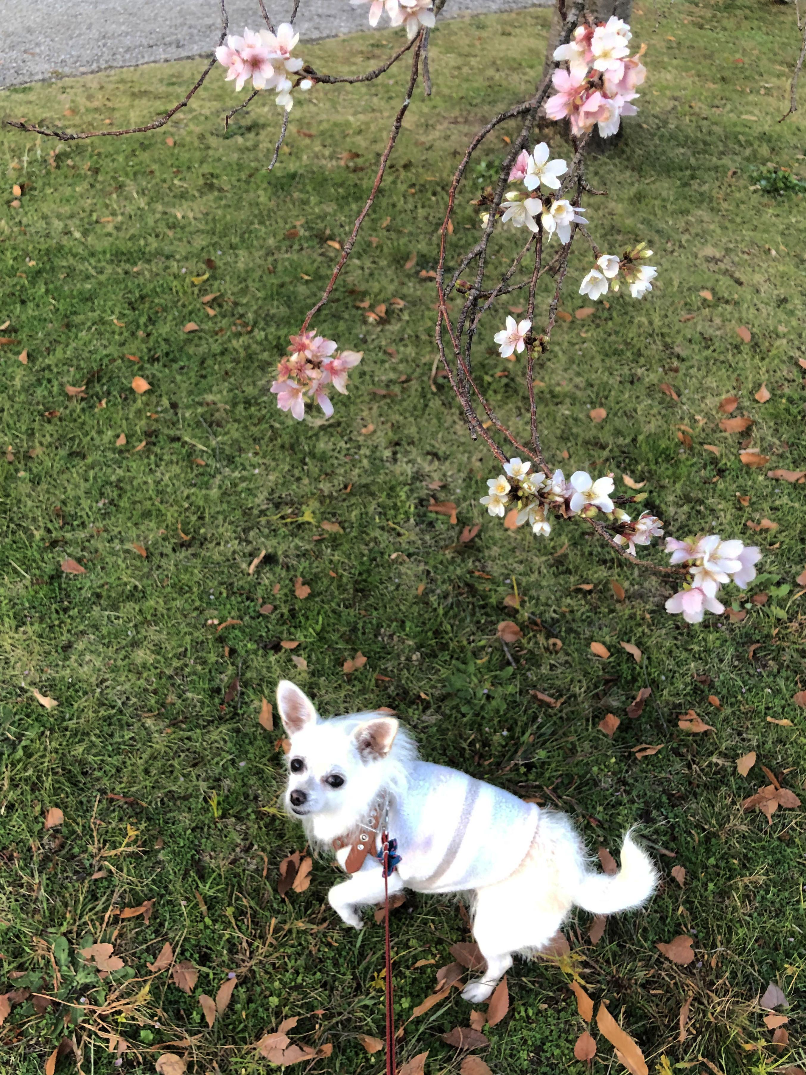 20_12寒桜とこゆ01