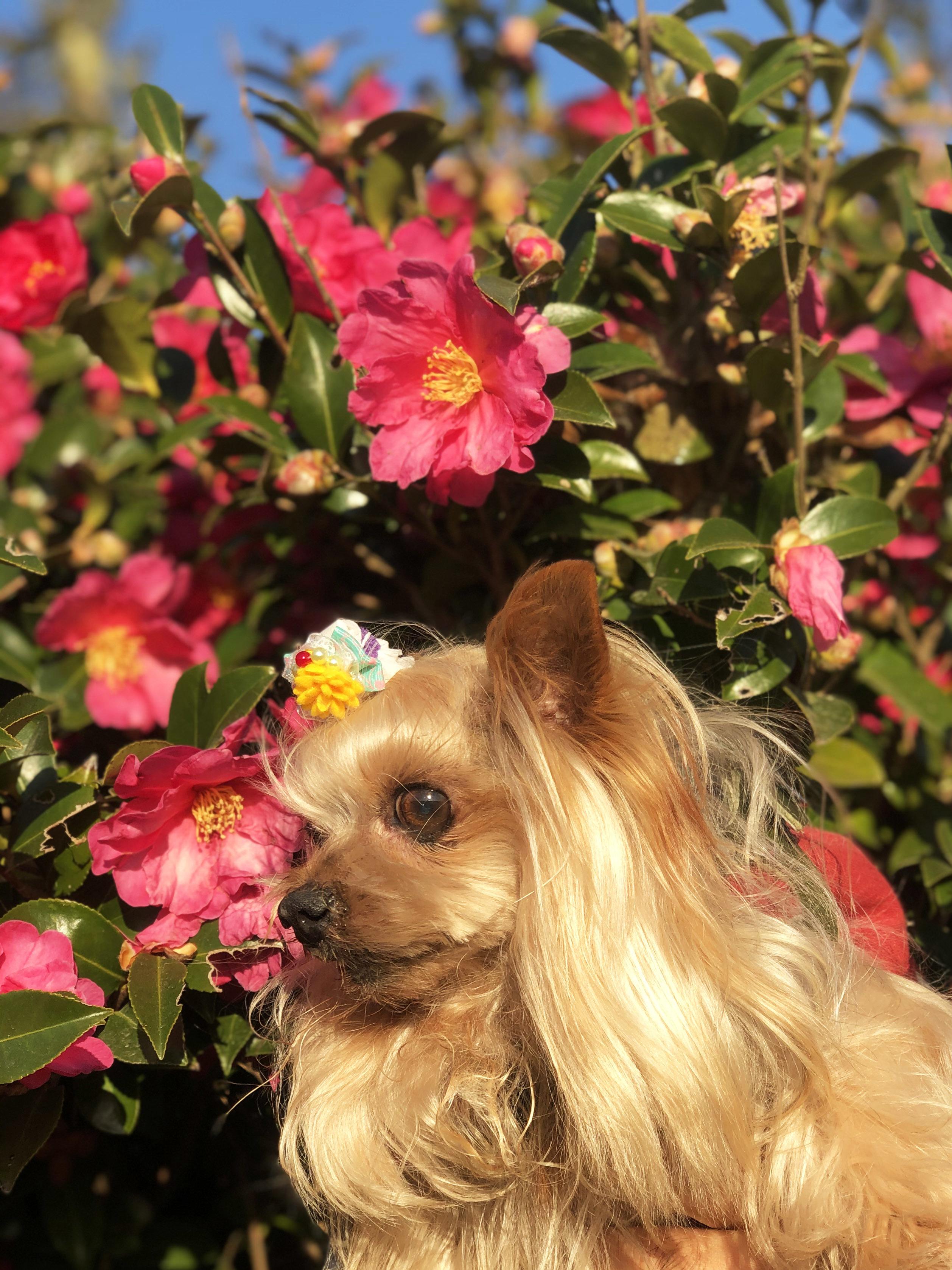 20_11山茶花とヨーキー01